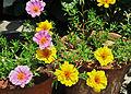 Portulaca grandiflora, Burdwan, 30032014 (1).jpg