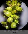 Potamogeton nodosus sl74.jpg