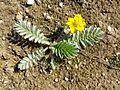 Potentilla anserina (subsp. anserina) sl6.jpg