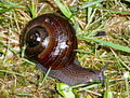 Powelliphanta lignaria johnstoni DOC 2004.jpg