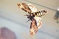 Preserved moth (38966670145).jpg