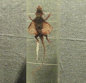 Draco maculatus - Preserved museum specimen
