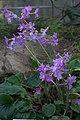 Primula megaseifolia 003 GotBot 2016.jpg