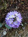 Primula species.jpg