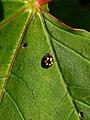 Propylea quatuordecimpunctata 132546008.jpg
