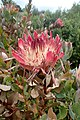 Protea cynaroides kz5.jpg