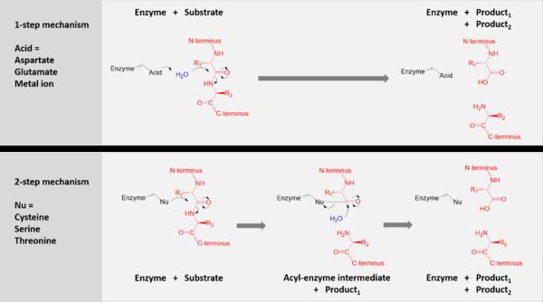 amino acid  Definition Structure amp Facts  Britannicacom