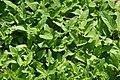 Prunella vulgaris 0zz.jpg