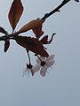 Prunus-Figueres.jpg