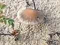 Psathyrella ammophila 109636401.jpg