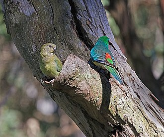 Red-rumped parrot - A pair in suburban Sydney, Australia