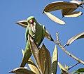 Psittacula krameri -Bangalore, India -male-8.jpg