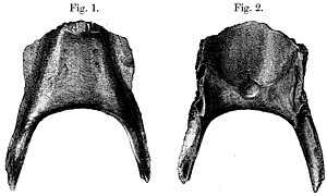 Broad-billed parrot - Lithograph of the subfossil holotype mandible, 1866