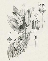 Pteleopsis myrtifolia00.jpg