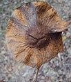 Pterocarpus dalbergioides - Andaman Padauk 03.JPG