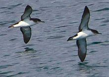 Puffinus puffinus -Iceland -flying-6 cropped.jpg
