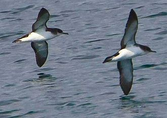 Animal navigation - Manx shearwaters can fly straight home when released, navigating thousands of miles over land or sea.