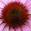 Purple-ConeFlower-Center ForestWander.jpg