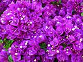Purple-flowers-3 - West Virginia - ForestWander.jpg