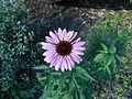 Purple Sunflower-like flower Varenna Italy.jpg