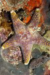 Purple reticulated starfish Henricia ornata DSF8941.jpg