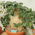 Pyrenacantha malvifolia-IMG 0235.jpg