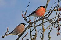 Pyrrhula pyrrhula -Germany -perching in a garden tree -pair-8a.jpg
