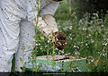 Q-23 beekeeper with bees.jpg