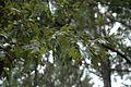 Quercus similis (24109787896).jpg