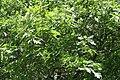 Quercus velutina JPG1f.jpg