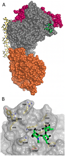 RBC binding site of PfEMP1.png