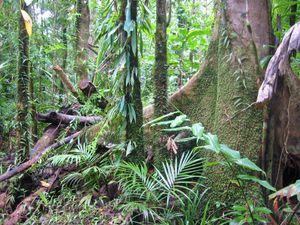 Rain Forest near Daintree, Queensland, Australia