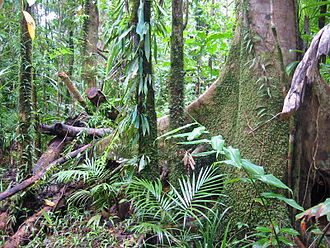 Wet Tropics of Queensland - Forest near Daintree. Queensland