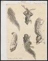 Rana paradoxa - 1700-1880 - Print - Iconographia Zoologica - Special Collections University of Amsterdam - UBA01 IZ11500027.tif