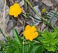 Ranunculus acris in Avoriaz (2).jpg