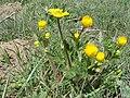 Ranunculus bulbosus aleae.JPG