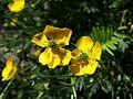 Ranunculus bulbosus sl4.jpg