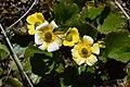 Ranunculus haastii in Lewis Pass Scenic Reserve 03.jpg