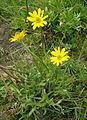 Ranunculus peduncularis var. erodiifolius. (8406194937).jpg