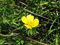 Ranunculus repens.jpeg
