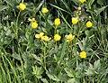 Ranunculus repens pryskyřník plazivý 3.jpg
