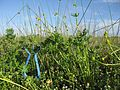 Ranunculus undosus habit11 NWP - Flickr - Macleay Grass Man.jpg
