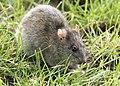 Rattus norvegicus - Brown rat 02.jpg