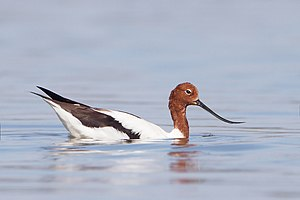 Red-necked avocet - in Lake Joondalup, Western Australia