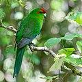 Red-crowned parakeet - Kākāriki - at Zealandia EcoSanctuary.jpg