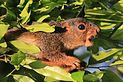 Red-legged sun squirrel (Heliosciurus rufobrachium) head.jpg