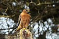 Red-shouldered hawk (Buteo lineatus).jpg