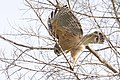 Red-shouldered hawk collecting nest materials, john morris road (24178361351).jpg