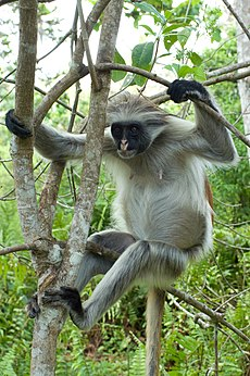 Red Colobus-5.jpg