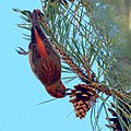 Red Crossbill (5360243233).jpg